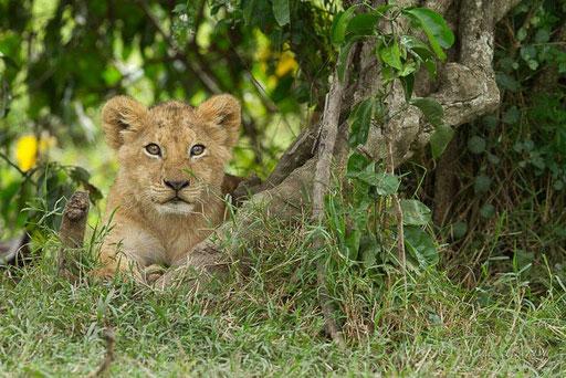 Lionceau de Sila
