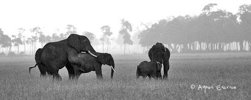 Amours d'éléphants sous la pluie