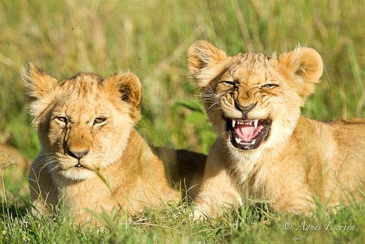 Lionceaux des Breakaways