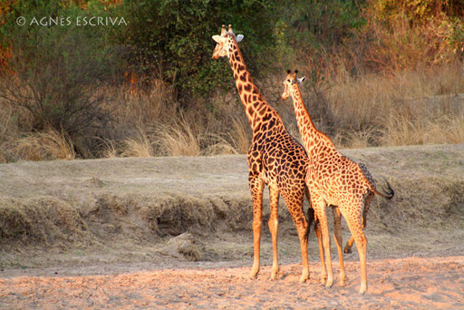 Couple de girafes Thornicroft