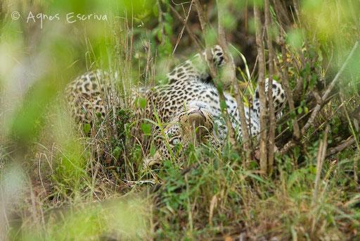 Paja, fils d'Olive, jeune mâle léopard d'un an et demi