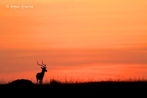 Silhouette d'impala mâle
