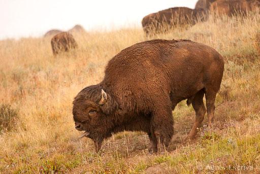 Bison mâle en rut
