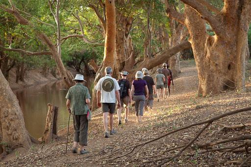 Balade sous les sycomores au bord de la rivière Ewaso Ngiro