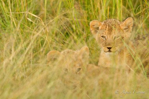 Lionceaux du clan de Paradise