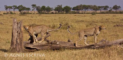 2 des 3 frères guépards