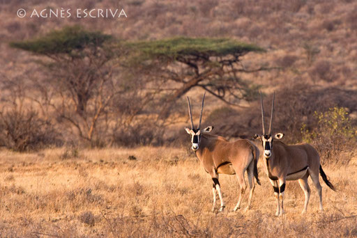 Oryx au couchant