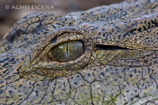 L'oeil du croc