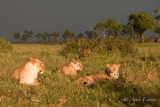 Trois jeunes lionnes à Bilashaka (Jicho, Sila et Kini)