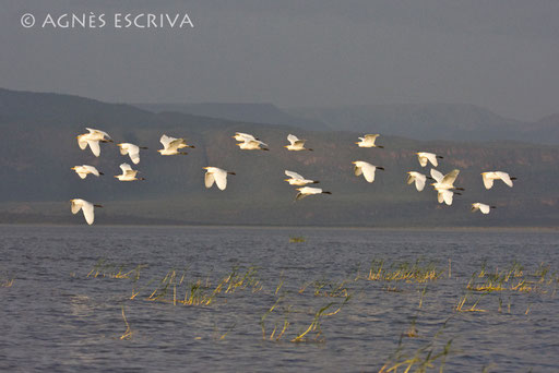 Vol de hérons garde-boeufs