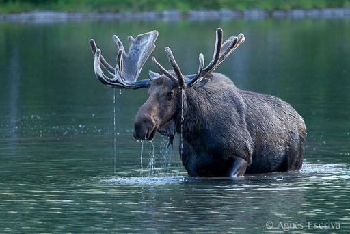 Elan - Orignal - Moose