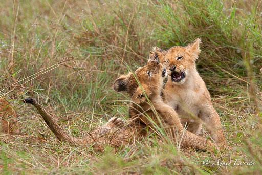 3 lionceaux de Charm (3 mois)