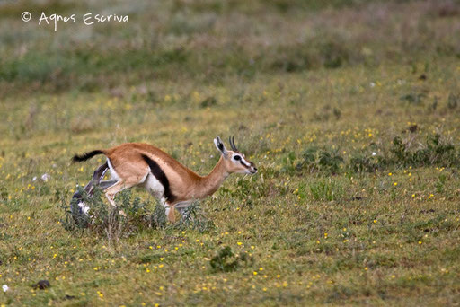 Naissance d'une gazelle de Thomson