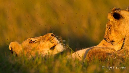 Lionne et lionceau des Breakaways
