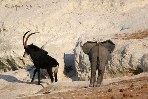 Antilope sable chassée par un éléphanteau
