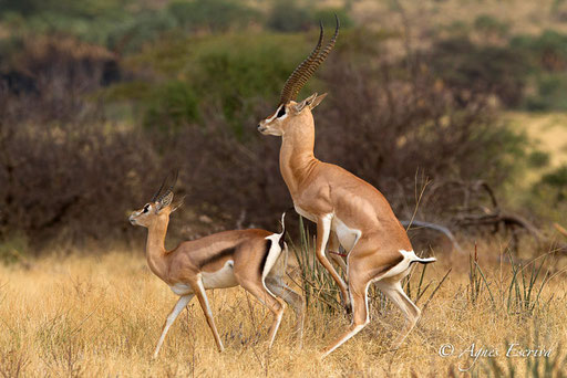 Accouplement de gazelle de Grant