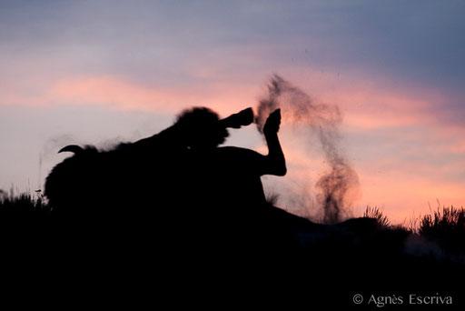 Mâle bison se roulant dans la poussière au crépuscule