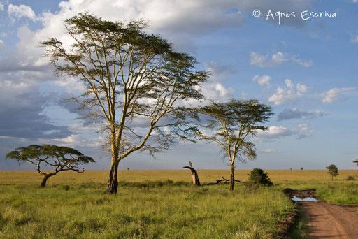 Acacias après la pluie