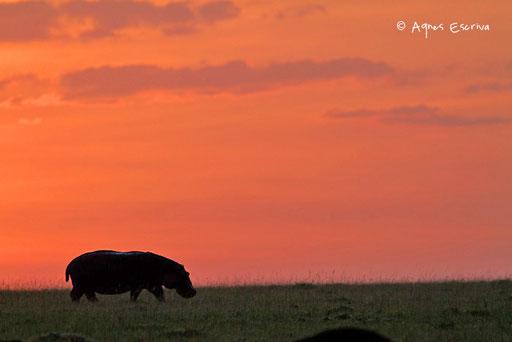 Silhouette d'hippo