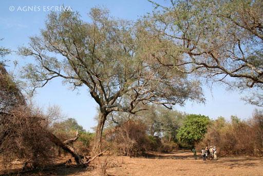 Acacia géant