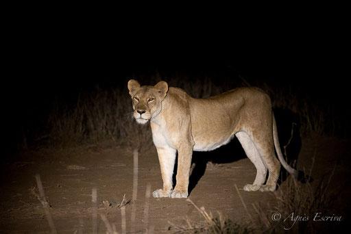 Lionne dans la nuit africaine