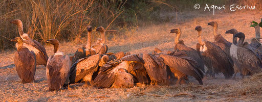 Vautours sur hyène