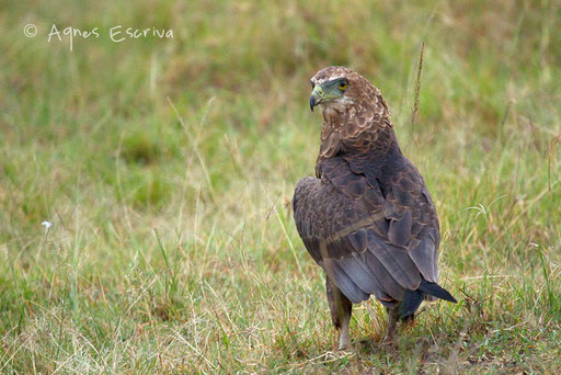 Aigle bateleur immature convoitant une carcasse envahie de vautours