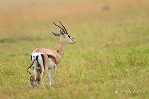 Jeune gazelle de Grant et sa mère