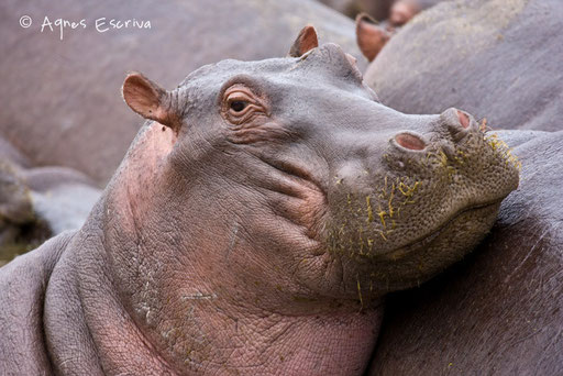 Jeune hippo