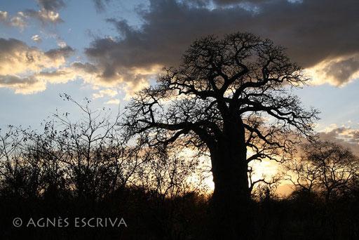 Silhouette de baobab