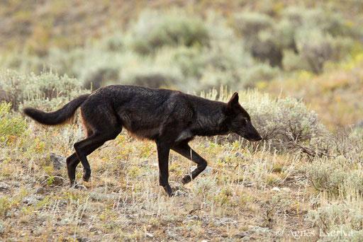 Loup gris femelle