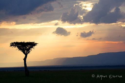 Acacia au couchant