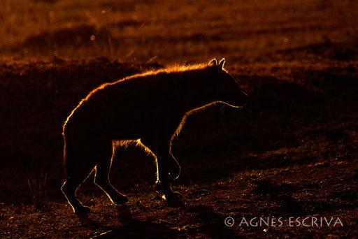 Contour de hyène
