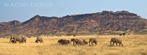 Eléphants du désert - Damaraland