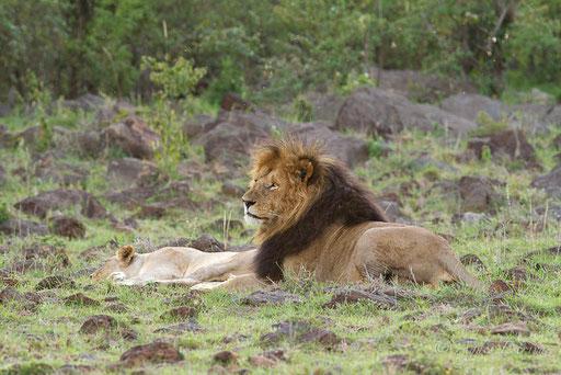 Blackie et une lionne du clan de Rekero