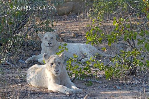 2 lionnes blanches