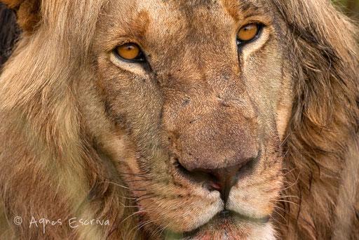 Lion de 5 ans inconnu s'approchant du marais de Musiara - pourrait bien détrôner Hanuman et Dents pourries dans un avenir proche