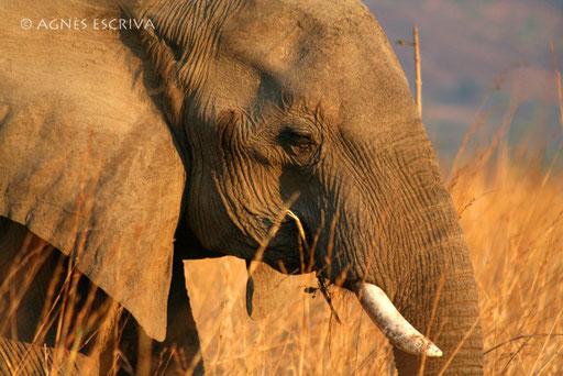 Eléphant au couchant