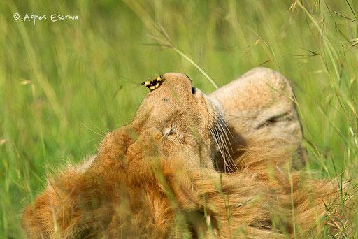 Jeune lion solitaire un papillon sur le museau