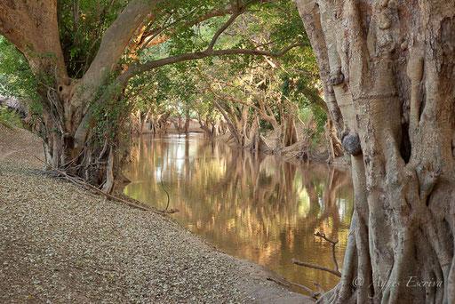 Sycomores au bord de la rivière Ewaso Ngiro