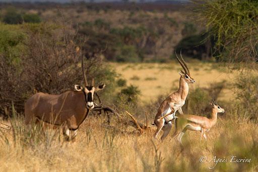 Accouplement de gazelle de Grant vu par un oryx