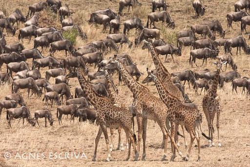 Gnous et girafes
