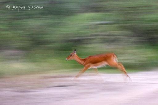 Filé d'impala