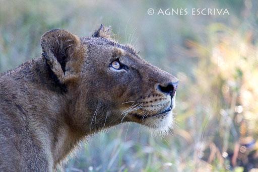 Portrait de jeune lionne de profil