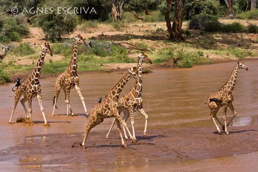 Panique chez les girafes réticulées