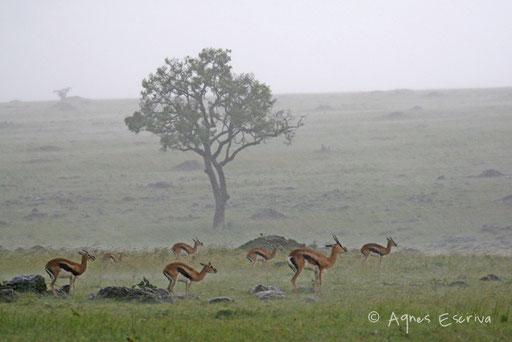 Gazelles sous la pluie