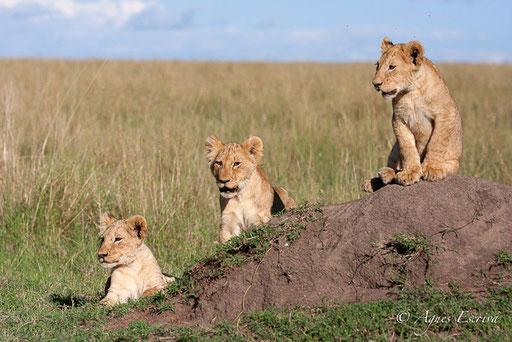 3 lionceaux des Breakaways