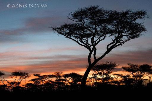 Acacia - Ndutu