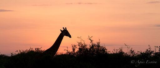 Girafe au lever de soleil