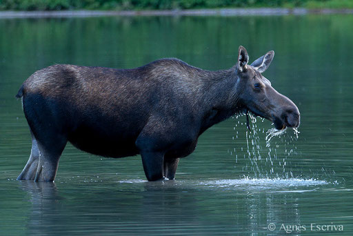 Femelle Elan - Orignal - Moose